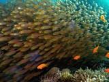 Glassy Fish