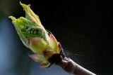 chestnut emerging from sticky bud