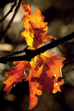 fiver - oak leaves in autumn, best form of gold