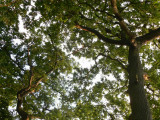mature oaks at the bottom of our garden