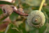 young acorns