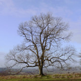 mature ash tree