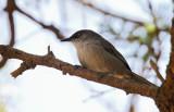 Yemen Warbler (Jemensångare) Parisoma buryi
