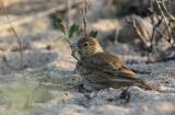 Black-crowned Sparrowlark (Svartkronad finklärka) Eremopterix nigriceps