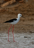 Black-winged Stilt (Styltlöpare) Himantopus himantopus
