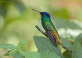 Bronsstaart-saffierkolibrie - Golden-tailed Sapphire - Chrysuronia oenone