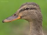 Wilde eend - Mallard - Anas platyrhynchos