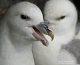 Noordse stormvogel - Northern Fulmar - Fulmarus glacialis