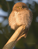 Jungledwerguil - Jungle Owlet - Glaucidium radiatum