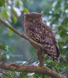 Bruine Visuil - Brown fish owl - Ketupa zeylonensis