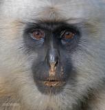Hanumanlangoer - Black-faced Langur - Semnopithecus entellus