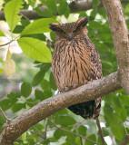 Himalajavisuil - Tawny Fish-owl - Ketupa flavipes