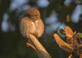 Jungledwerguil - Jungle Owlet - Glaucidium radiatum