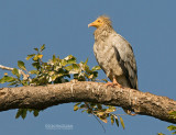 Aasgier - Egyptian Vulture - Neophron percnoterus