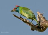 Blauwkeelbaardvogel - Blue-throated Barbet - Megalaima asiatica