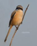 Langstaartklauwier - Long-tailed Shrike - Lanius schach