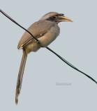 Witstaarttok - Indian Grey Hornbil - Ocyceros birostris