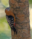 Bloedbuikspecht - Rufous Belied Woodpecker - Dendrocopos hyperythrus