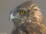 Slangenarend - Short-toed Eagle - Circaetus gallicus
