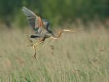 Purperreiger - Purple Heron - Ardea purpurea