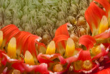 Gerbera Macro Close Crop