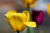 Frank's Tulips 2010 #1
