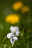 Johnny Jump Up and Dandelions