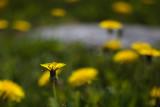 Dandelions by Rock