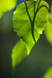 Spring Leaf and Shadow