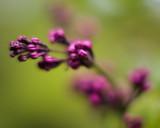 Lilac Buds #2