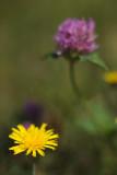 Yellow Hawkweed and Clover #2