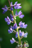 2010 Lupines #12