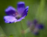 Unknown Blue Flower, Soft #2