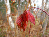 Last Red Leaves by Birch