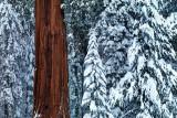 Sequoia In White