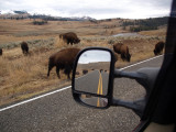 Driving Through the Buffalo Playground
