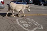 The Locals Have the Right of Way in Oatman AZ