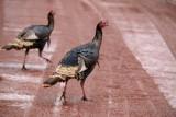 Wild Turkeys in Zion
