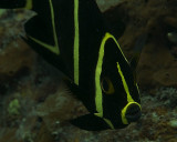 French Angelfish intermediate juvenile (Pomacanthus paru)