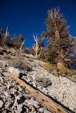Bristlecone Pines-100