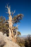 Bristlecone Pines-101