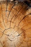 Bristlecone Pines-102