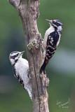 Downey Woodpeckers