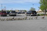 Goslings On Parade