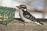 Downy Woodpecker, Juvenile Male
