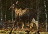 Run like Hell - european elk  (american moose)