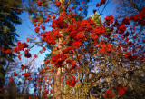 Point Me at the Sky - rowanberries, sorbus aucuparia