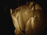 monochromatic 23. - tulip in sepia