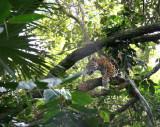 Spotted Jaguar - Belize Zoo