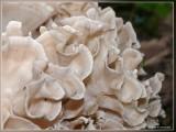 Breedbladige sponszwam - Sparassis spathulata